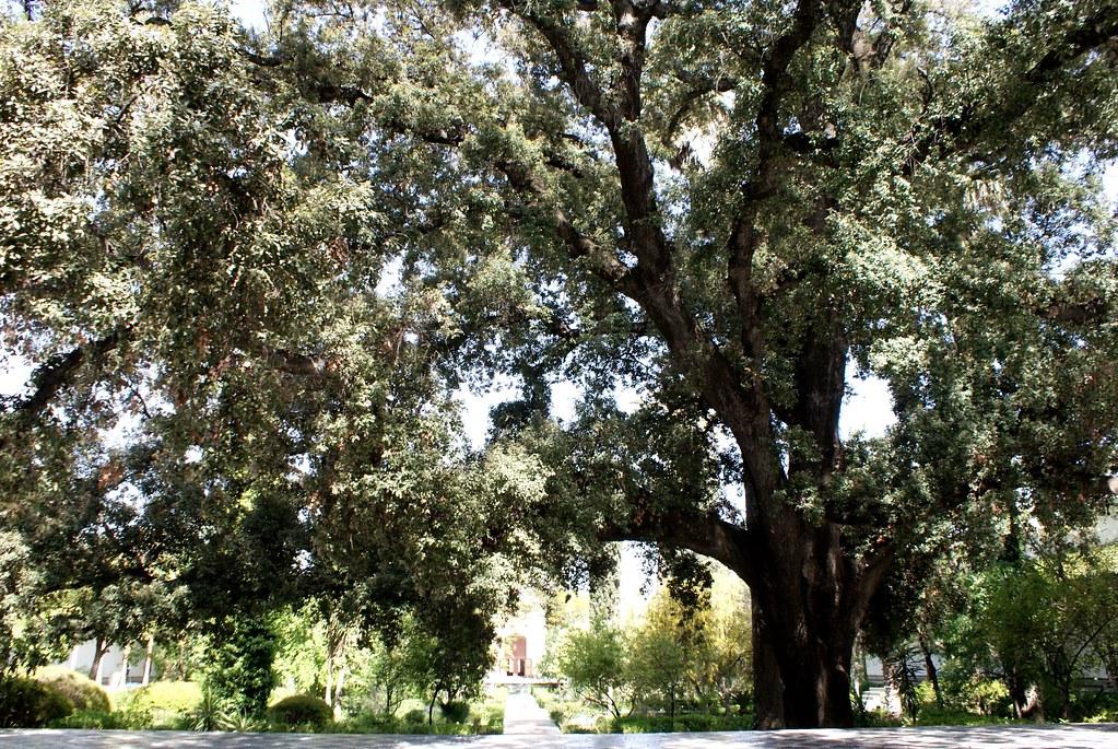 Gigantesque chêne vert dans le jardin du musée Batha à Fès.