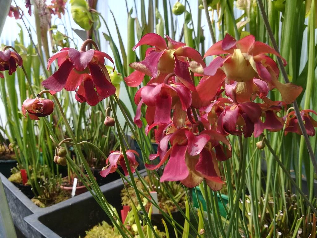 Sarracnia leucophylla and rubra
