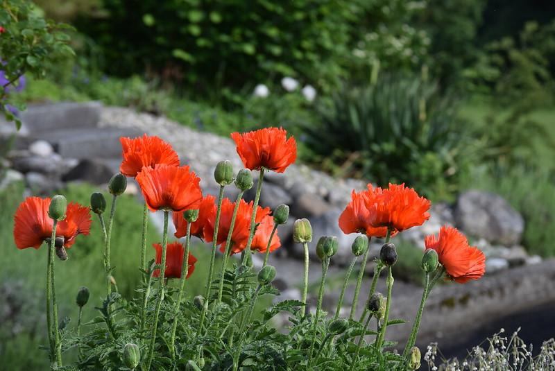 Poppies 22.05 (1)