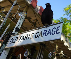 Old Fart Magpie (1)
