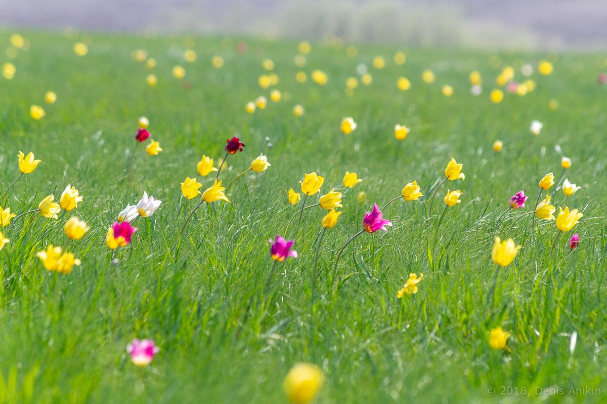 тюльпаны иваново поле фото 3