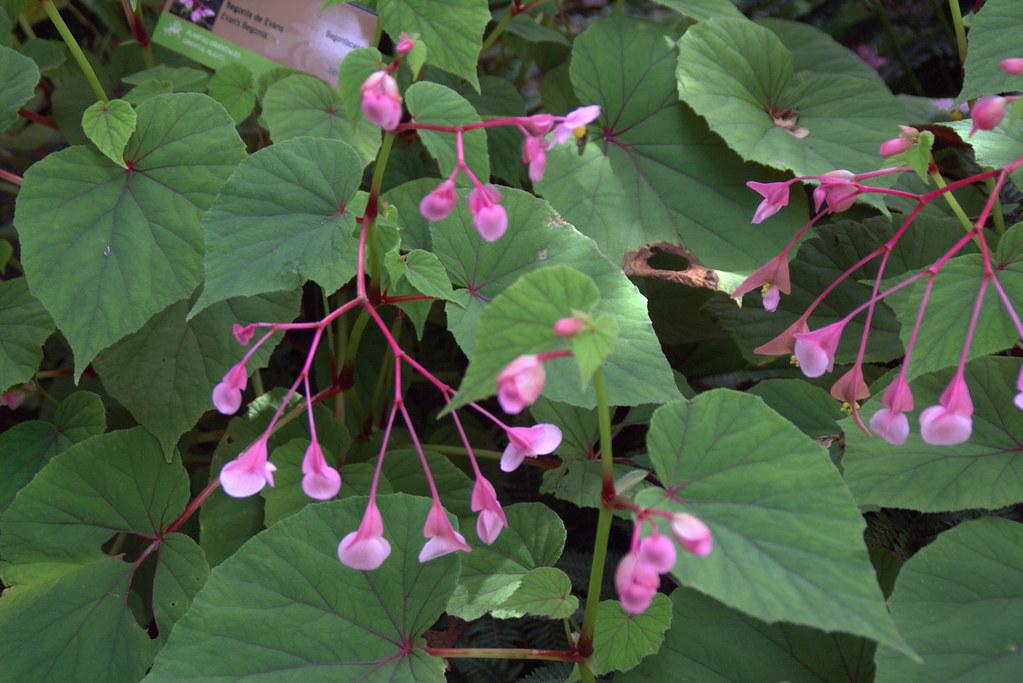 Begonia de Evans (Begonia grandis)