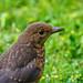 A young blackbird
