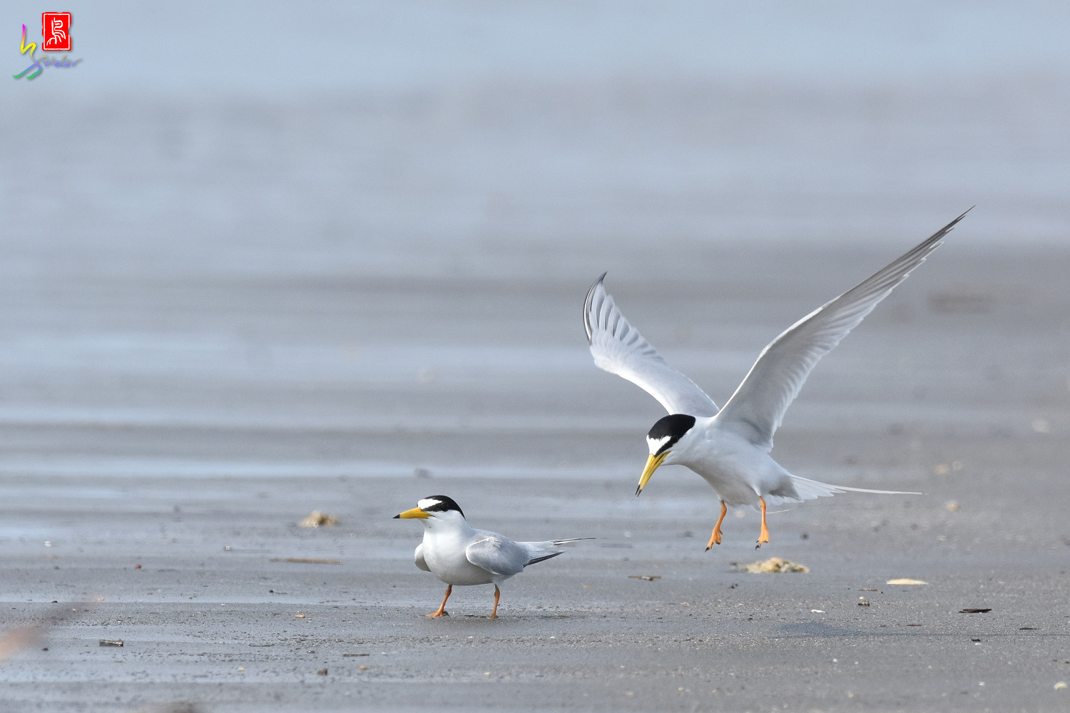Little_Tern_4358