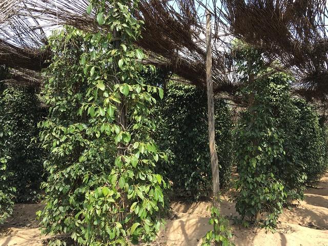 コショウの木