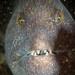 Wolf Eel by Dan Hershman