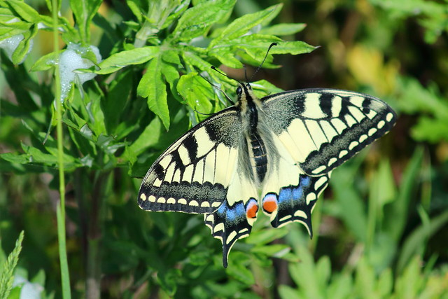 Papilio machaon, Canon EOS 760D, Canon EF 80-200mm f/4.5-5.6