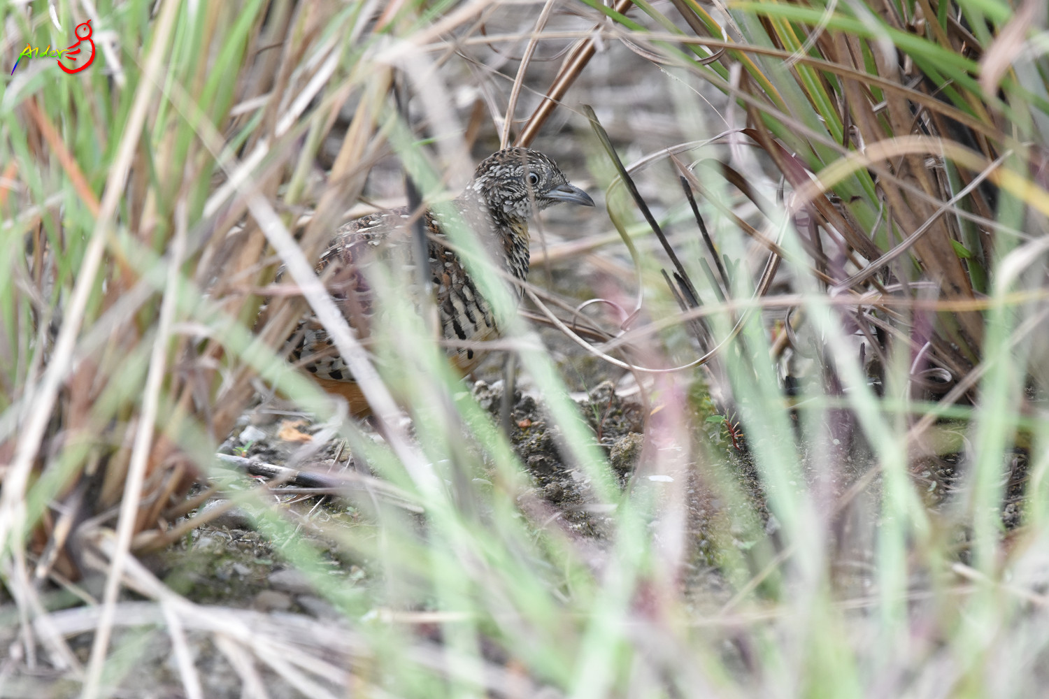 Barred_Buttonquail_5149