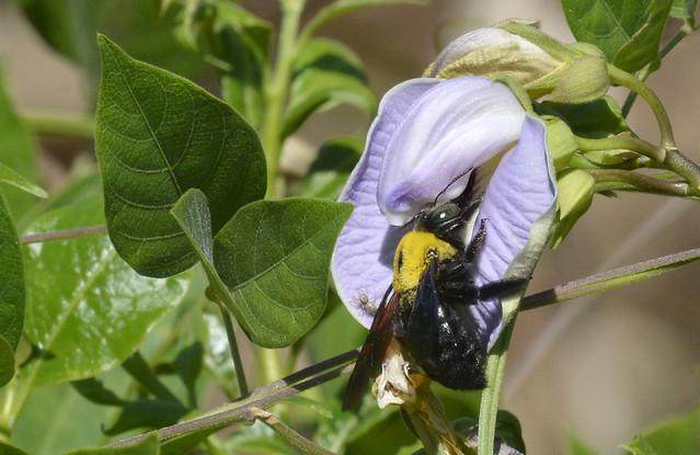 Giant Carpenter Bee