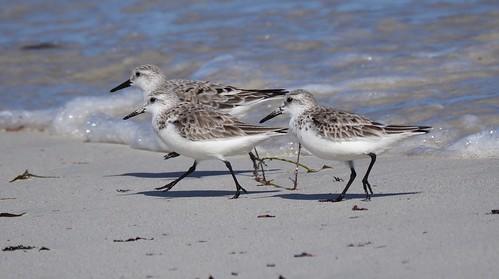 Shorebirds - Sanderlings (Calidris alba)
