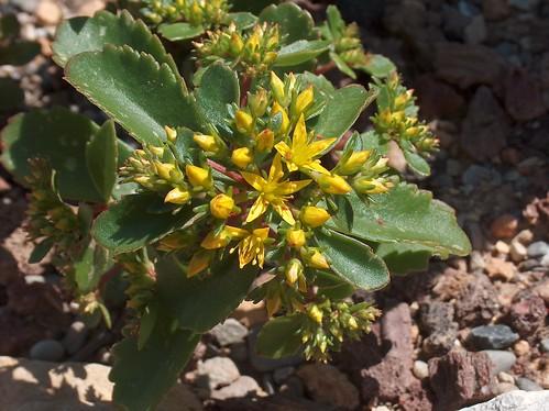 Phedimus kamtschaticus (= Sedum kamtschaticum) 42282161321_e2a30205de