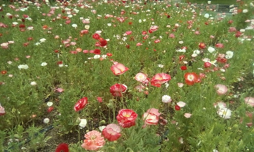 Poppies in Shumiyoshi Park, Osaka