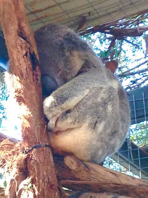 Koala at the hospital, Apple iPhone 5c, iPhone 5c back camera 4.12mm f/2.4