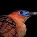 DSCN0331 Night Heron by tsuping.liu