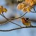 Blackburnian warbler. by ricmcarthur