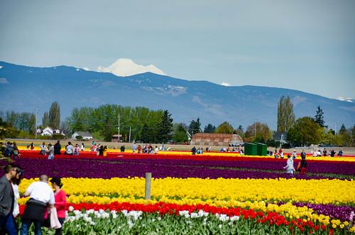 Skagit Valley Tulips-122
