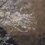 20180418-191457 Spring Tree Bokeh