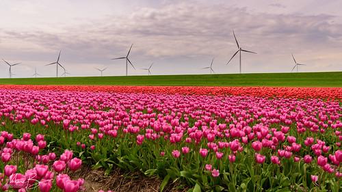 Tulips & Windmills / 03