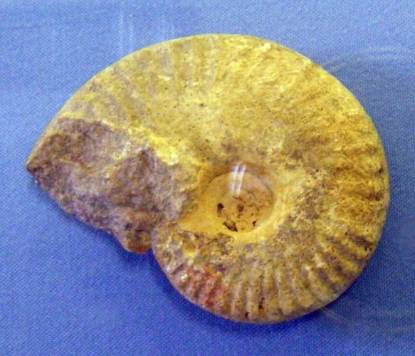 Eohecticoceras biflexuosum 39883506700_8fb6529200_o