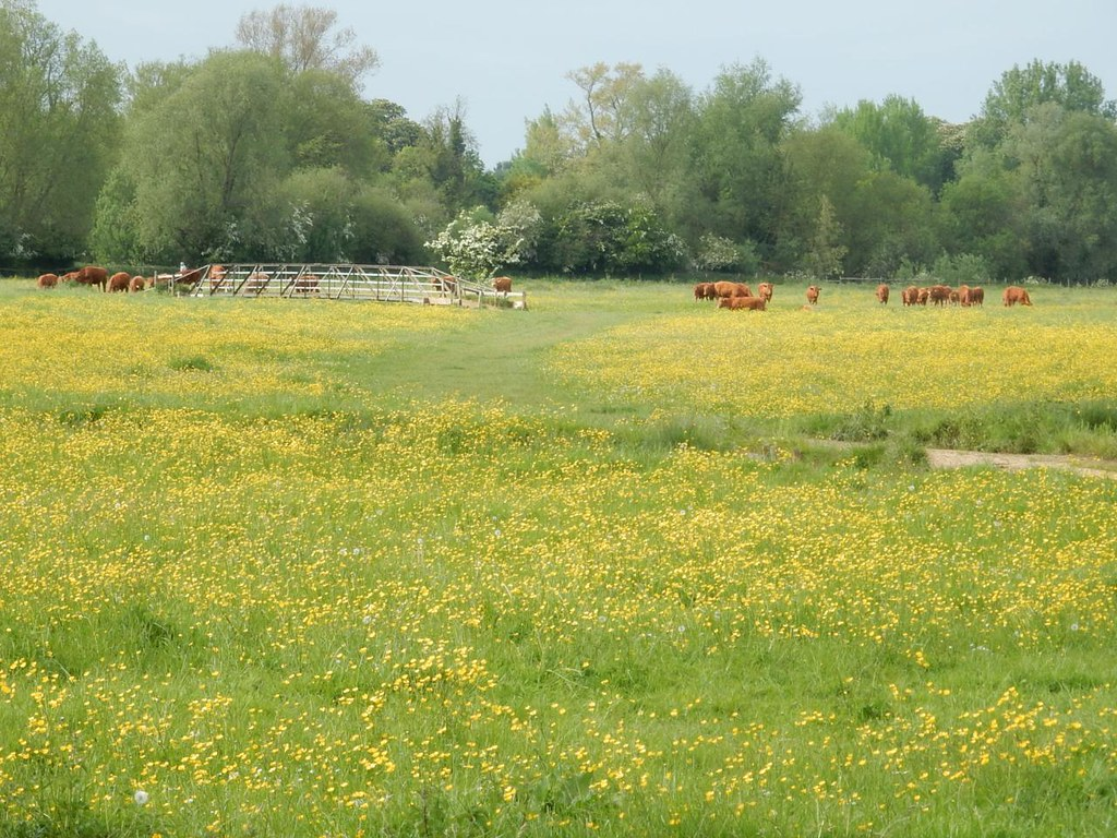 "Buttercups 'n' cows..... ......at least one of which is called ""Buttercup"" surely, Sudbury Common Lands Bures to Sudburry"