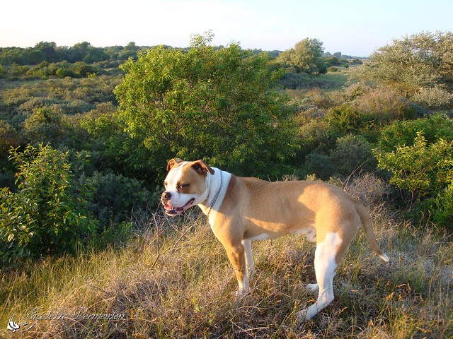 American Bulldog Pictures And Informations Dog Breeds Com