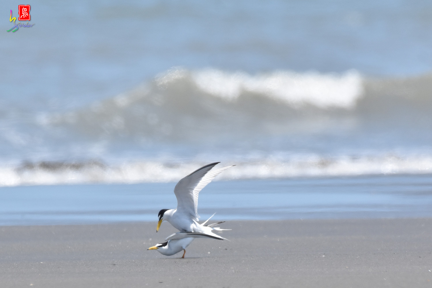 Little_Tern_7623