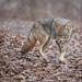 Coyote by Gord Sawyer
