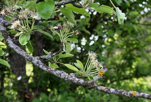Pyrus pyraster (= communis subps pyraster) - poirier sauvage  41185033135_f59ccacbb4