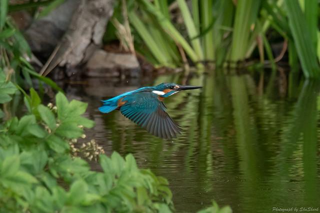 20180516-kingfisher-DSC_2314