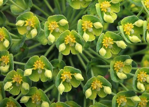 """Défisconcours """"Euphorbia"""" - participations 41253709944_487a577bd9"""