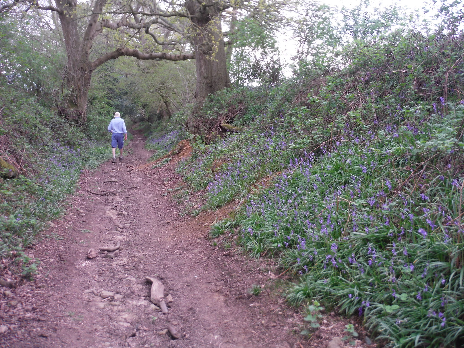 Bluebells in Sunken Path down from Upper Vining Farm SWC Walk 48 Haslemere to Midhurst (via Lurgashall or Lickfold)