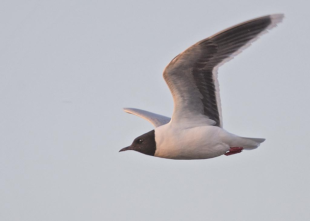 Little Gull  Hydrocoloeus minutus