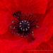 Red Papaver, 5.15.18