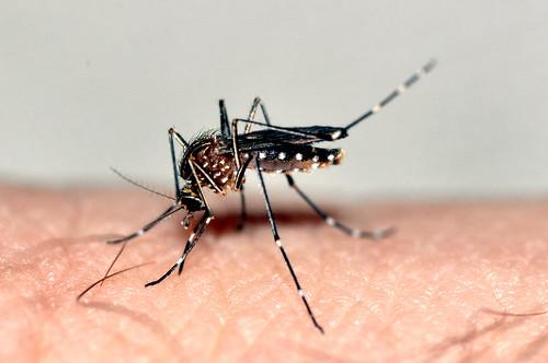 Aedes (Rampamyia) notoscriptus (Skuse, 1889)