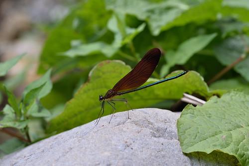 Calopteryx cornelia