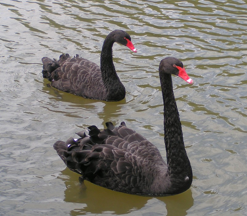 The black swan (Cygnus atratus), after which the Swan River Colony was named is the state bird of Western Australia.