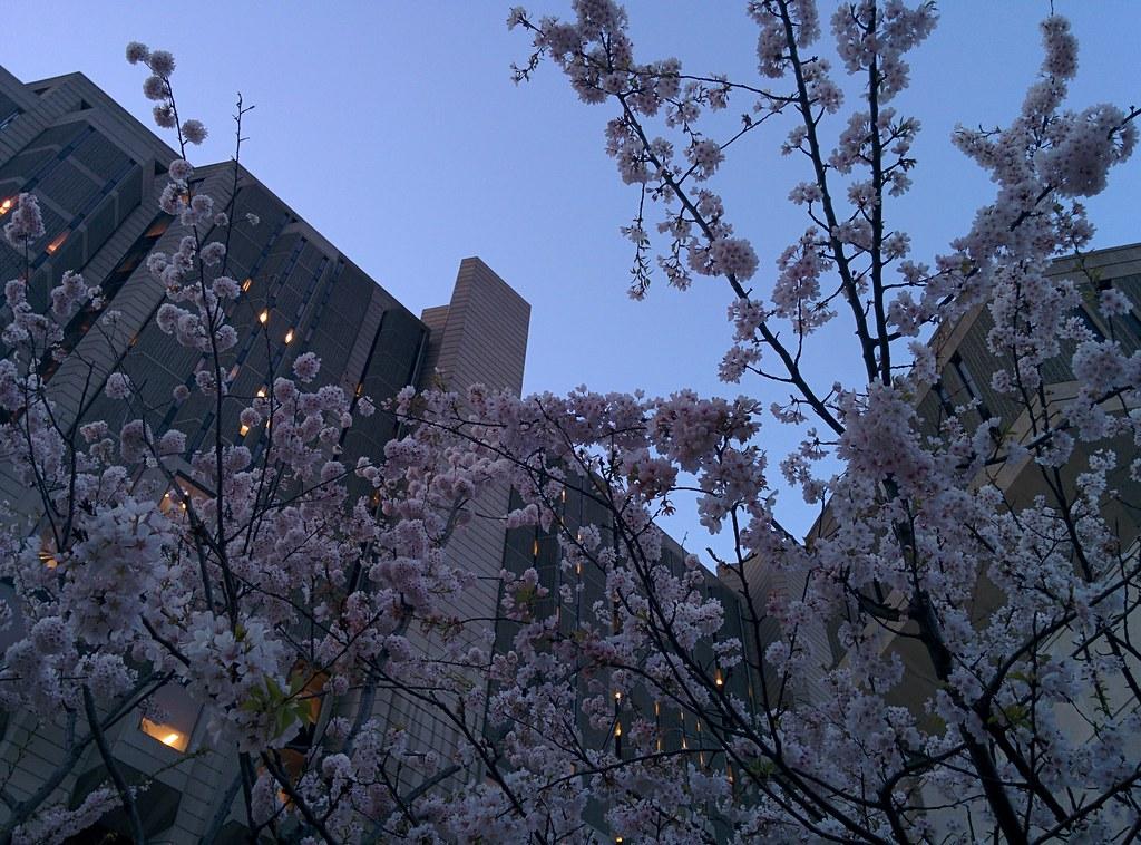 Sakura of Robarts in twilight (10) #toronto #sakura #cherryblossom #universityoftoronto #robartslibrary #harbordstreet #latergram