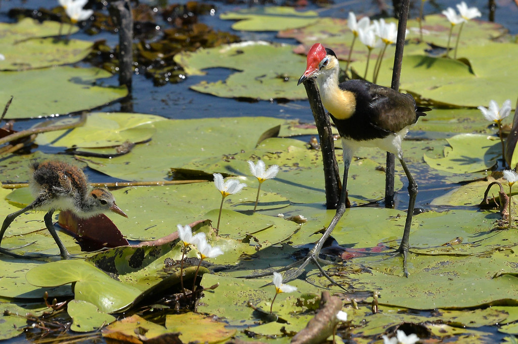 jacana in Mary River Wetlands