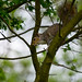 Squirrel in Weald Country Park