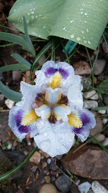 Commande d'iris chez Chapman Iris (2019 --> Page 9) - Page 8 42183635242_0d73e7c7e2_c