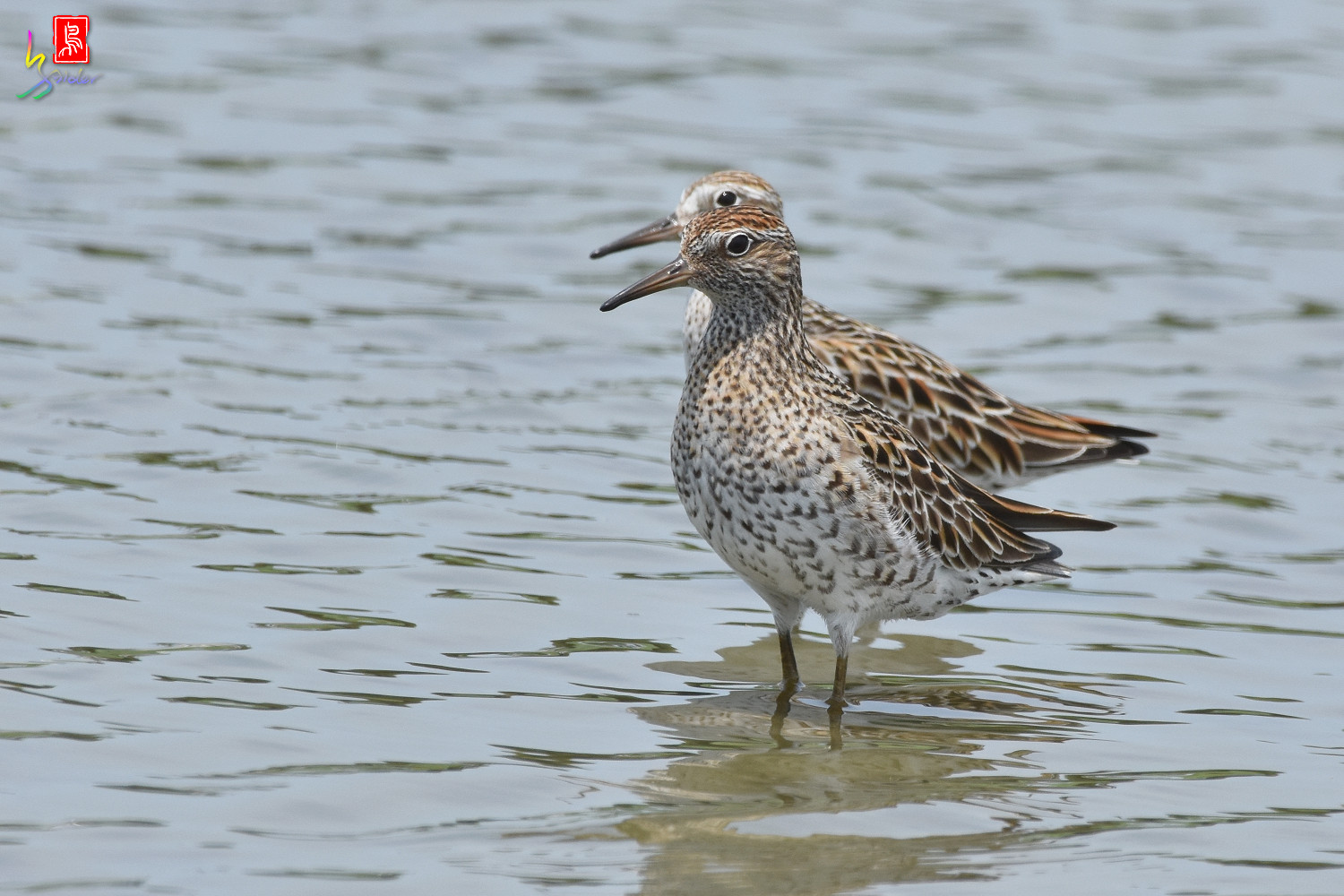 Sharp-tailed_Sandpiper_3172