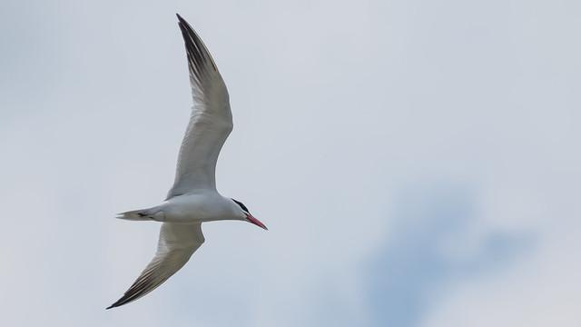 Tern in the Clouds