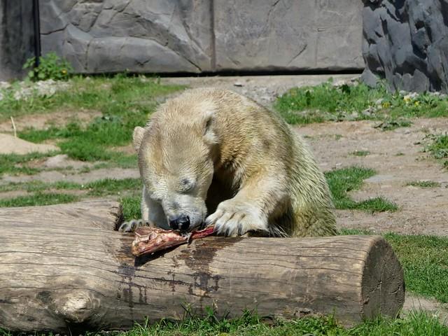Eisbär Antonia