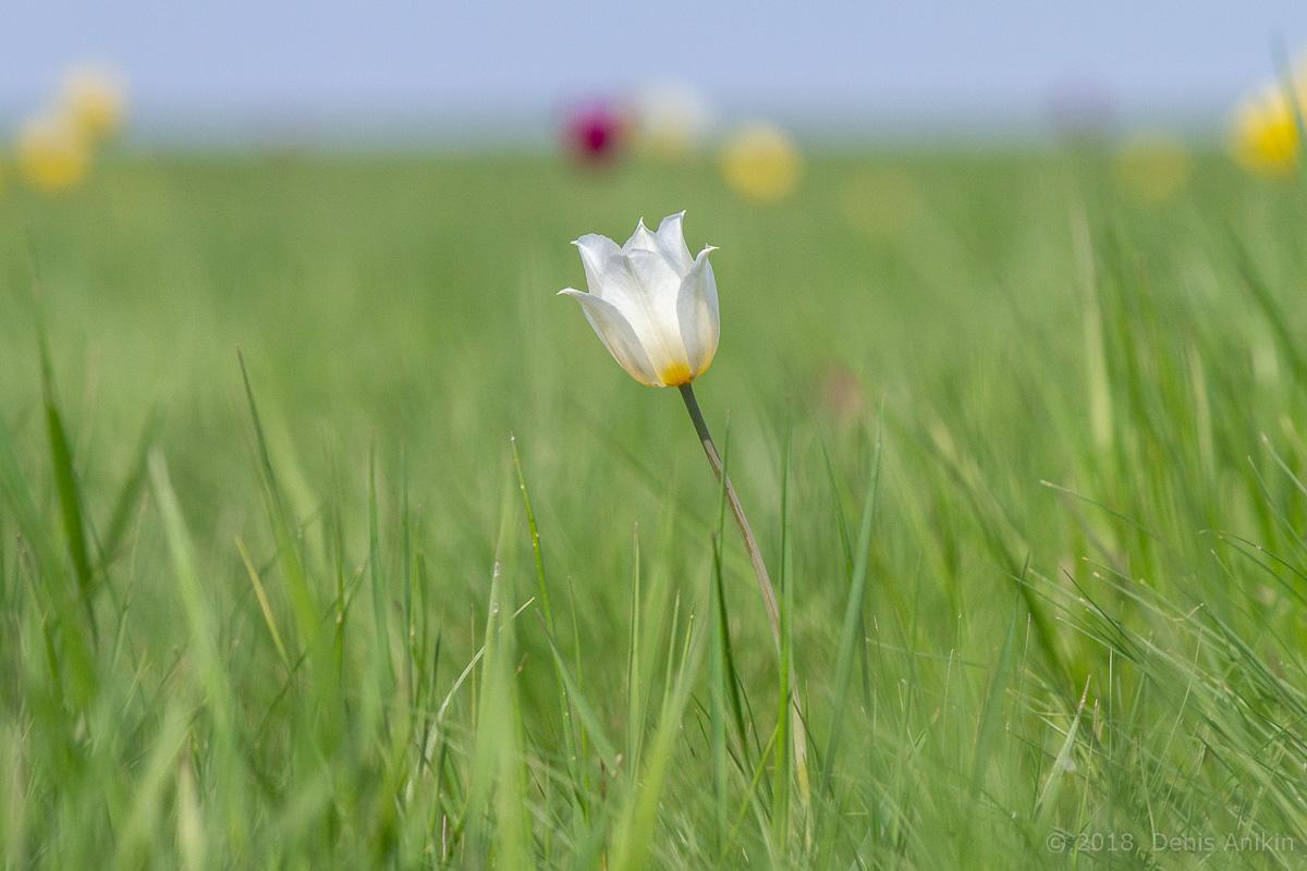тюльпаны иваново поле фото 11