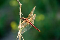 Mariposas, Polillas, Libélulas.. Butterflies, Moths, Dragonflies...