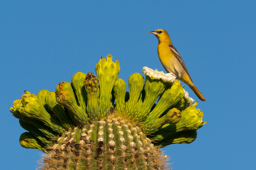 A young male Bullock's oriole perches atop a blooming saguaro cactus in the Brown's Ranch section of McDowell Sonoran Preserve in Scottsdale, Arizona