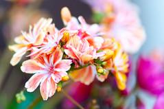 Fleurs anciennes