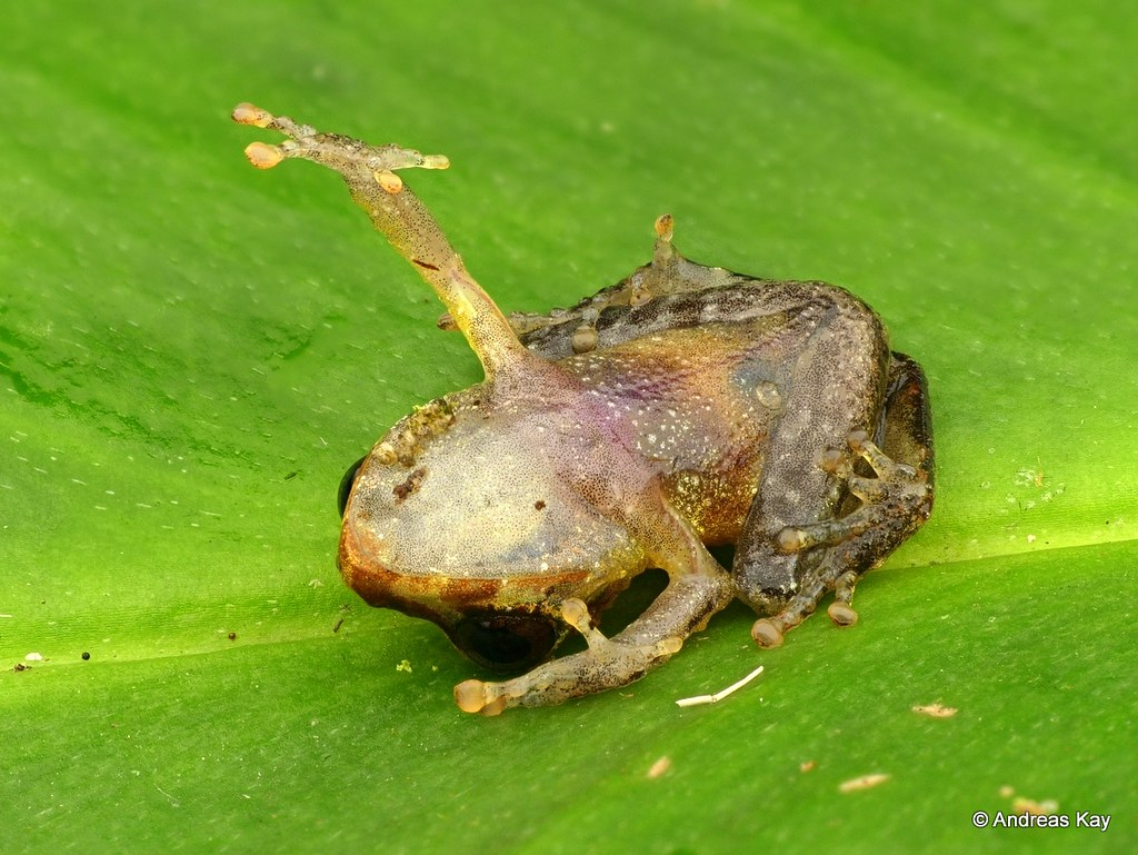 Rainfrog, Pristimantis sp. feigning death