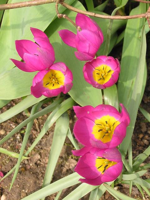 Tulipa humilis var. pulchella 'Violacea Yellow Base'