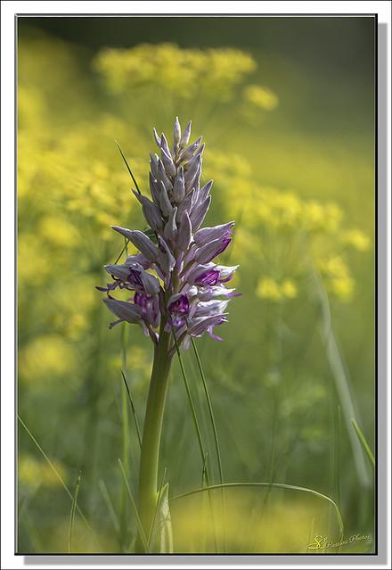 Orchidées SC (03)